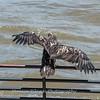 Eagles Conowingo Dam 22 June 2019-2965