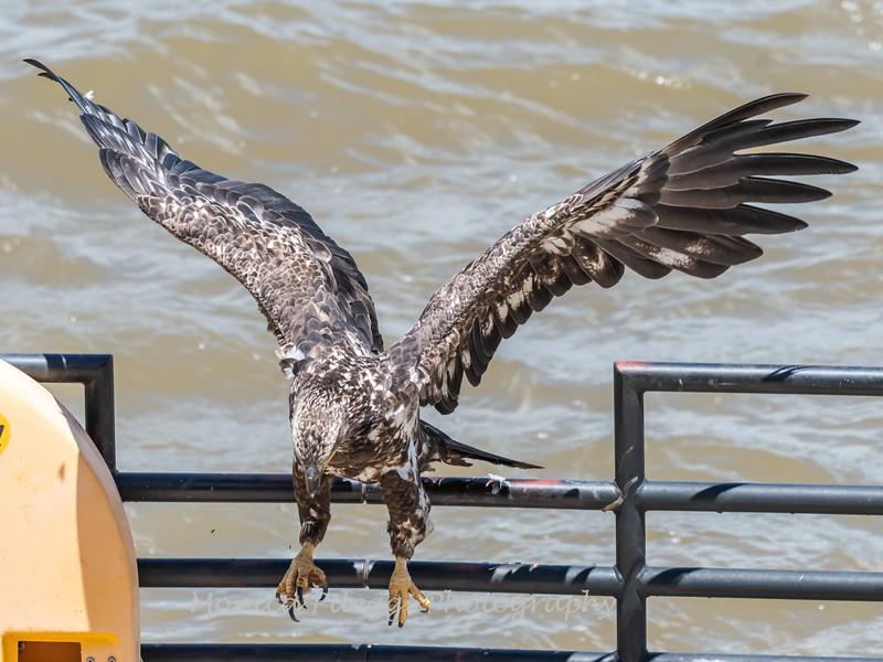 Eagles Conowingo Dam 22 June 2019-2920