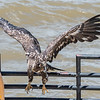 Eagles Conowingo Dam 22 June 2019-2920