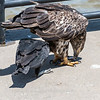 Eagles Conowingo Dam 22 June 2019-2946