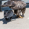 Eagles Conowingo Dam 22 June 2019-2948