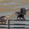 Eagles Conowingo Dam 22 June 2019-2889