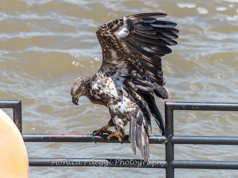 Eagles Conowingo Dam 22 June 2019-2917