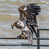 Eagles Conowingo Dam 22 June 2019-2917