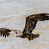 Eagles Conowingo Dam 22 June 2019-2797