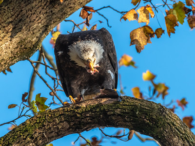 Conowingo Dam Eagles 31 Oct 2018-3567