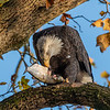 Conowingo Dam Eagles 31 Oct 2018-3504