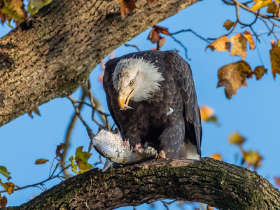 Conowingo Dam Eagles 31 Oct 2018-3505