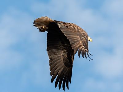 Conowingo Dam Eagles 31 Oct 2018-3625