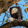 Conowingo Dam Eagles 31 Oct 2018-3489