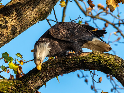 Conowingo Dam Eagles 31 Oct 2018-3588