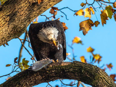 Conowingo Dam Eagles 31 Oct 2018-3530
