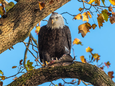 Conowingo Dam Eagles 31 Oct 2018-3557
