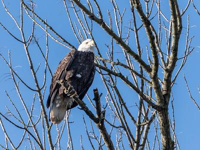 Conowingo Dam Eagles 31 Oct 2018-3658