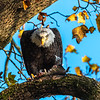 Conowingo Dam Eagles 31 Oct 2018-3551