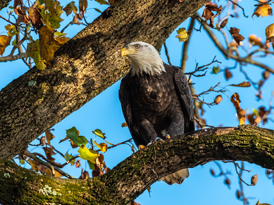 Conowingo Dam Eagles 31 Oct 2018-3593