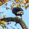 Conowingo Dam Eagles 31 Oct 2018-3460