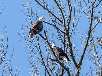 Conowingo Dam Eagles 31 Oct 2018-3642
