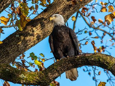 Conowingo Dam Eagles 31 Oct 2018-3602