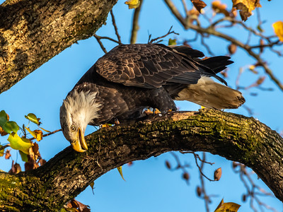 Conowingo Dam Eagles 31 Oct 2018-3590