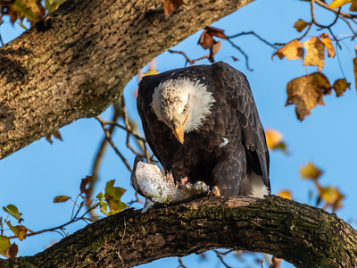 Conowingo Dam Eagles 31 Oct 2018-3511