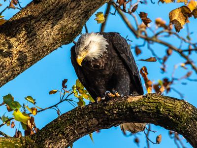 Conowingo Dam Eagles 31 Oct 2018-3583