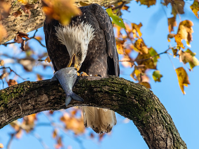 Conowingo Dam Eagles 31 Oct 2018-3473