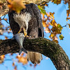 Conowingo Dam Eagles 31 Oct 2018-3472