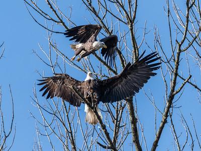 Conowingo Dam Eagles 31 Oct 2018-3645