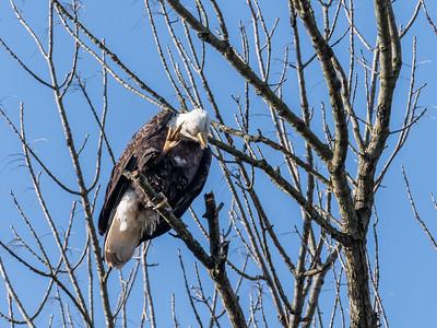 Conowingo Dam Eagles 31 Oct 2018-3652