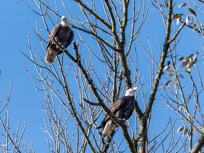 Conowingo Dam Eagles 31 Oct 2018-3636