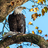 Conowingo Dam Eagles 31 Oct 2018-3524