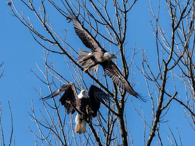 Conowingo Dam Eagles 31 Oct 2018-3647