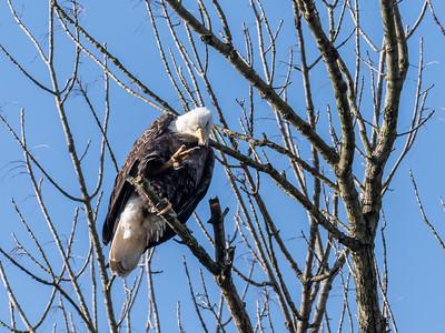 Conowingo Dam Eagles 31 Oct 2018-3655