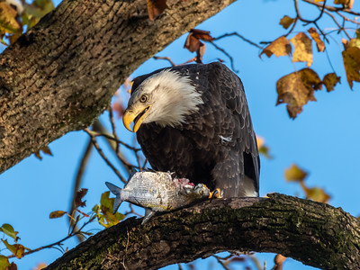 Conowingo Dam Eagles 31 Oct 2018-3484