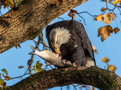Conowingo Dam Eagles 31 Oct 2018-3501