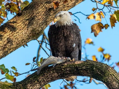 Conowingo Dam Eagles 31 Oct 2018-3526