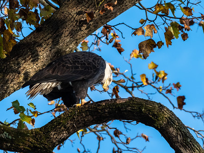 Conowingo Dam Eagles 31 Oct 2018-3622
