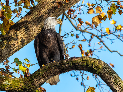 Conowingo Dam Eagles 31 Oct 2018-3595