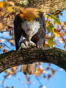 Conowingo Dam Eagles 31 Oct 2018-3477