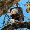 Conowingo Dam Eagles 31 Oct 2018-3483