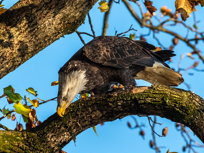 Conowingo Dam Eagles 31 Oct 2018-3587