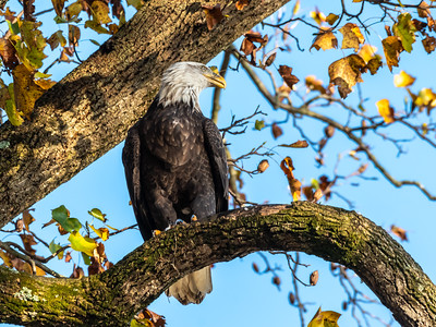 Conowingo Dam Eagles 31 Oct 2018-3596