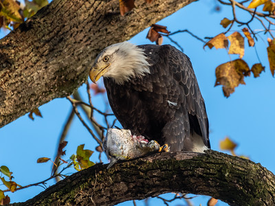 Conowingo Dam Eagles 31 Oct 2018-3487