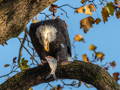 Conowingo Dam Eagles 31 Oct 2018-3541