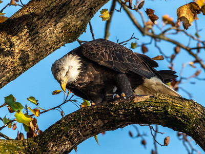 Conowingo Dam Eagles 31 Oct 2018-3591