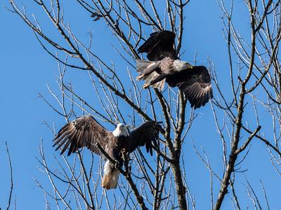 Conowingo Dam Eagles 31 Oct 2018-3648