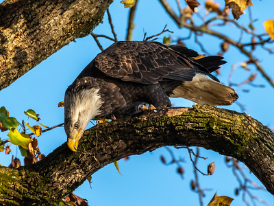 Conowingo Dam Eagles 31 Oct 2018-3589