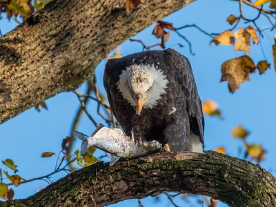 Conowingo Dam Eagles 31 Oct 2018-3513