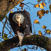 Conowingo Dam Eagles 31 Oct 2018-3546